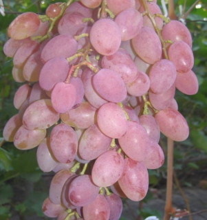 rumb - Виноград сорт Румба