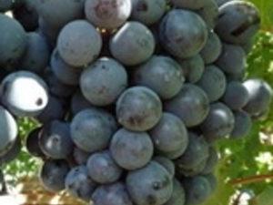 strashenskij 2 300x225 - Виноград сорт Страшенский