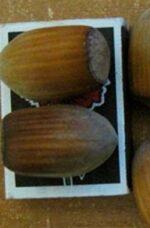 Лещина сорт Трапезунский