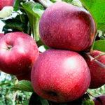 florina 150x150 - Яблоня сорт Флорина
